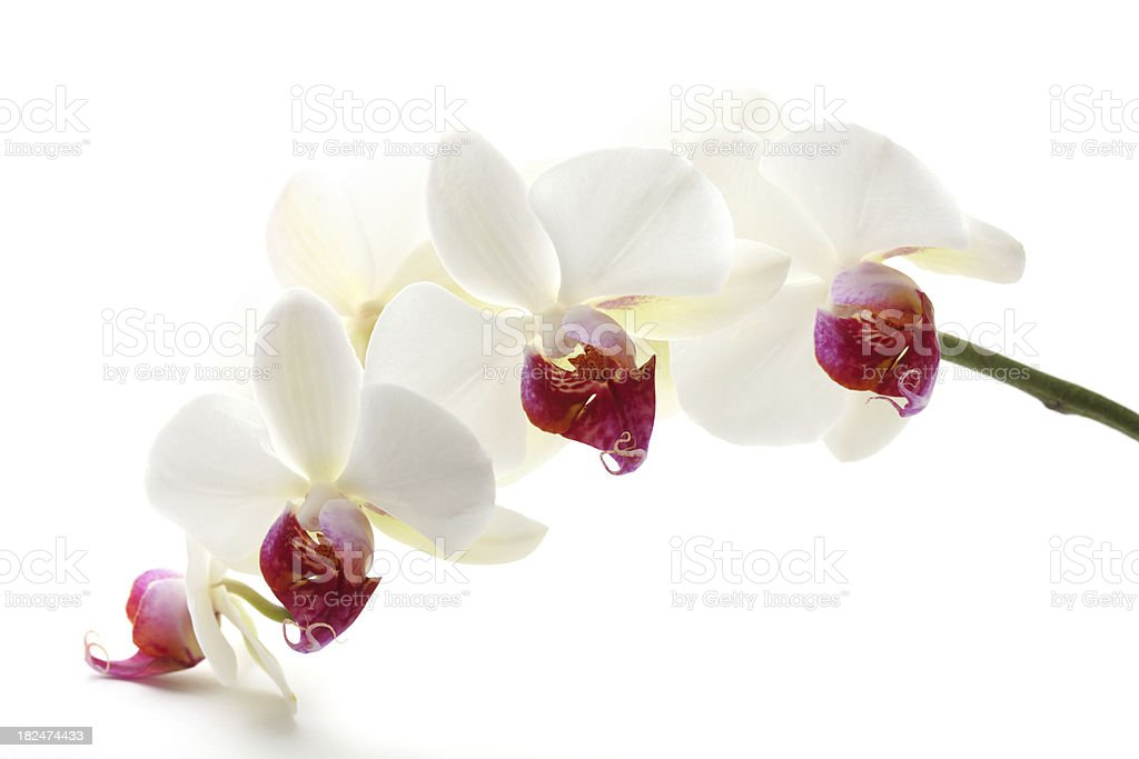 Beautiful White Orchid XXXL stock photo