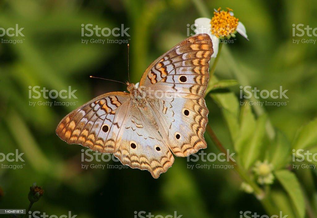 Hermosa mariposa pavo real blanca foto de stock libre de derechos