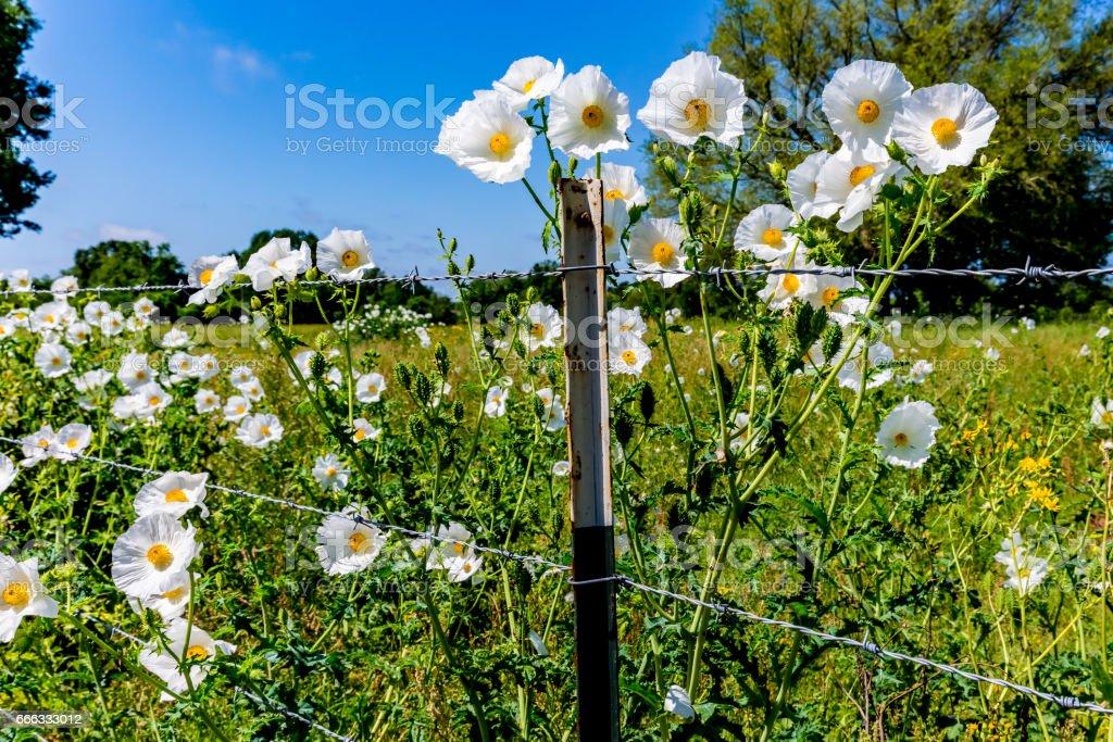 Beautiful White Prickly Poppy (Argemone albiflora) Wildflowers in Texas stock photo