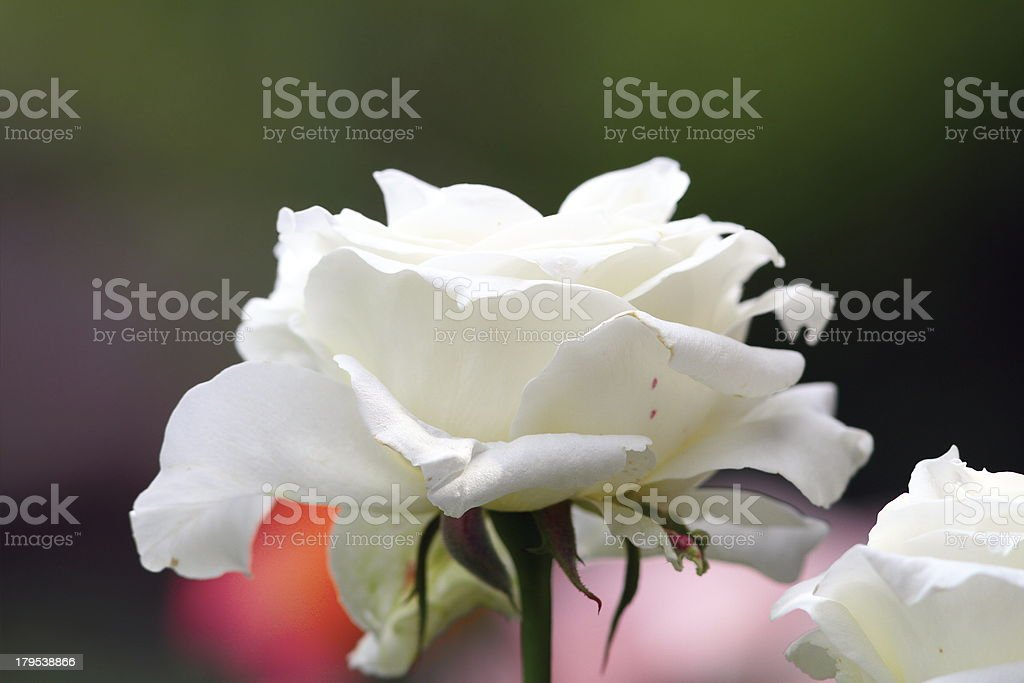 beautiful white rose in bloom royalty-free stock photo