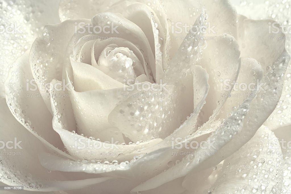 Beautiful white rose. stock photo