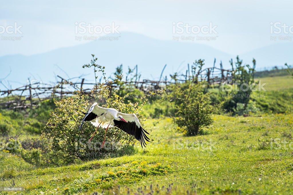 Beautiful white stork flies past some woodland. stock photo