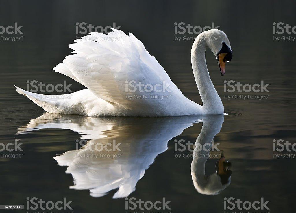 Beautiful White Swan And Reflection stock photo