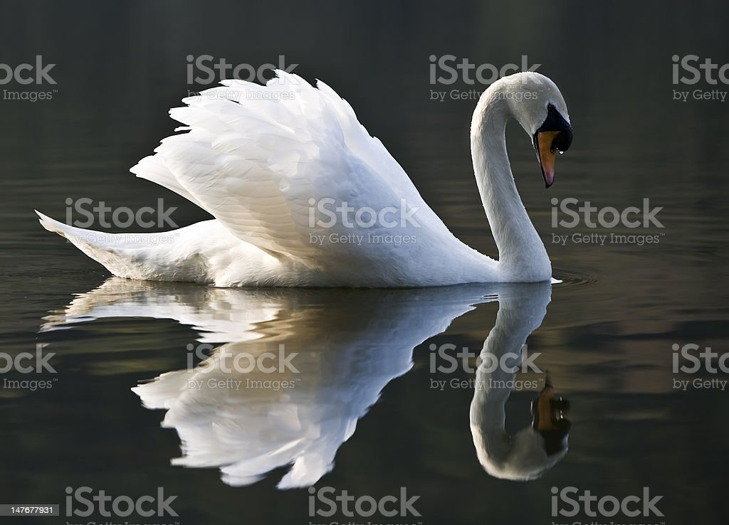 Beautiful White Swan And Reflection stock photo