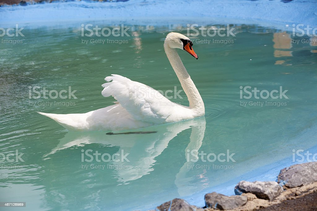 Beautiful White Swan royalty-free stock photo