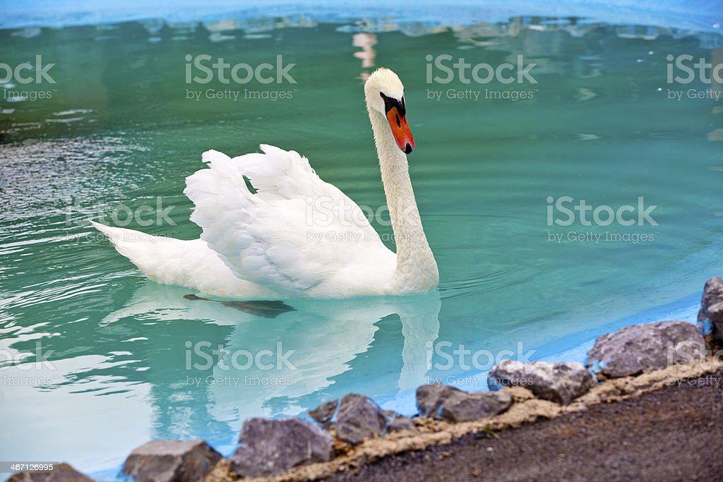 Beautiful White Swan royalty-free stock photo
