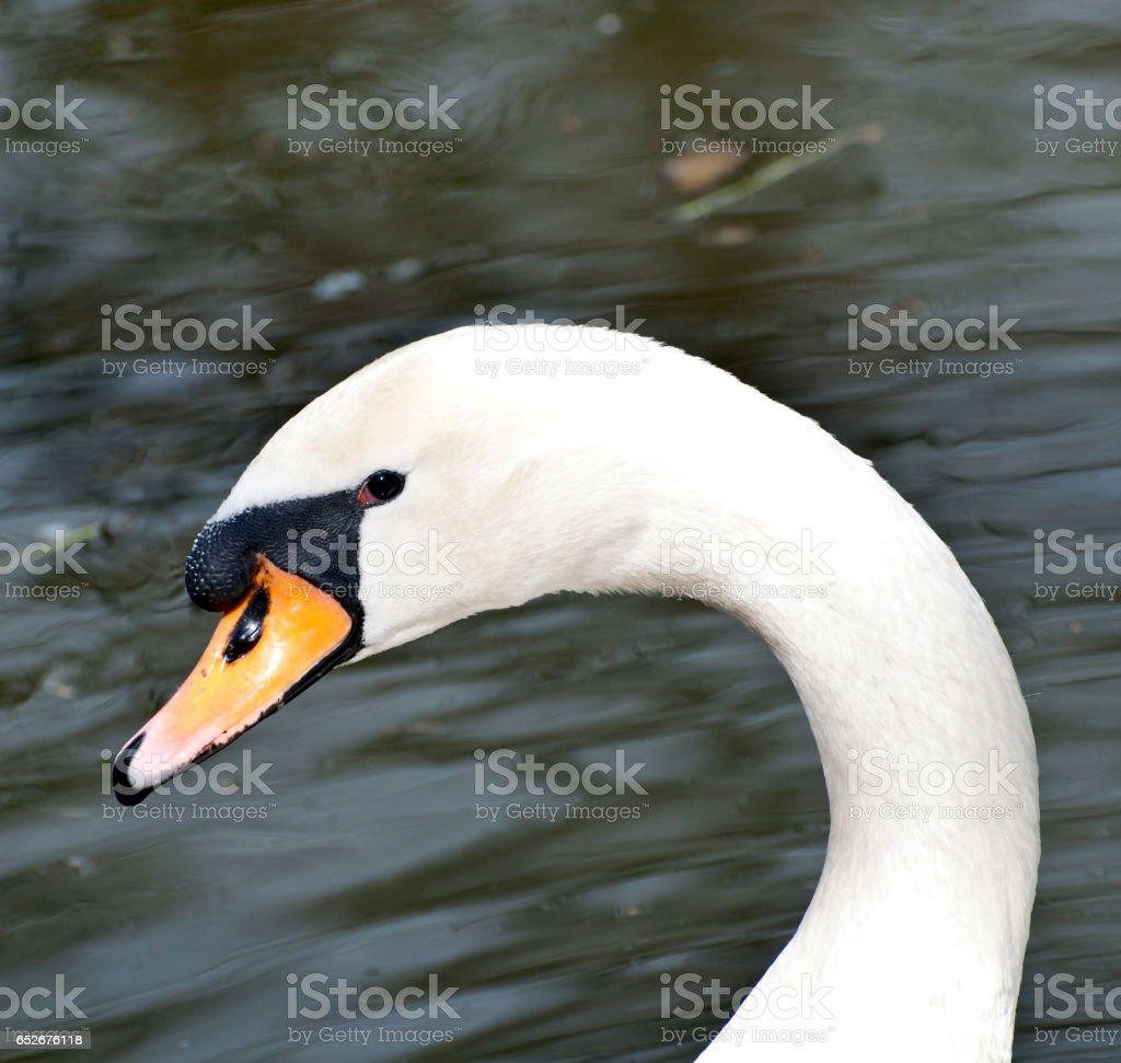 Beautiful white swan portrait stock photo