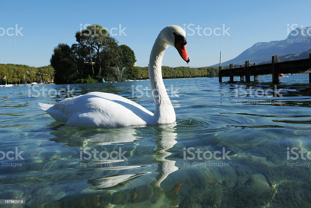 Beautiful White Swan Swimming On Lake - XLarge stock photo
