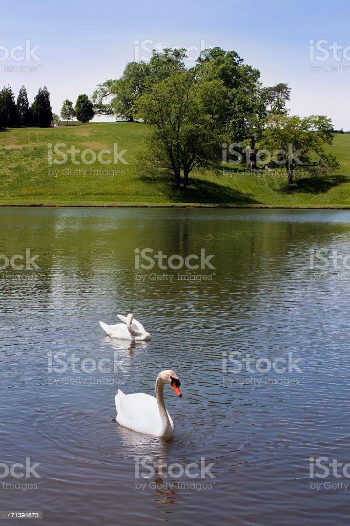 Beautiful White Swans on Tranquil Lake stock photo