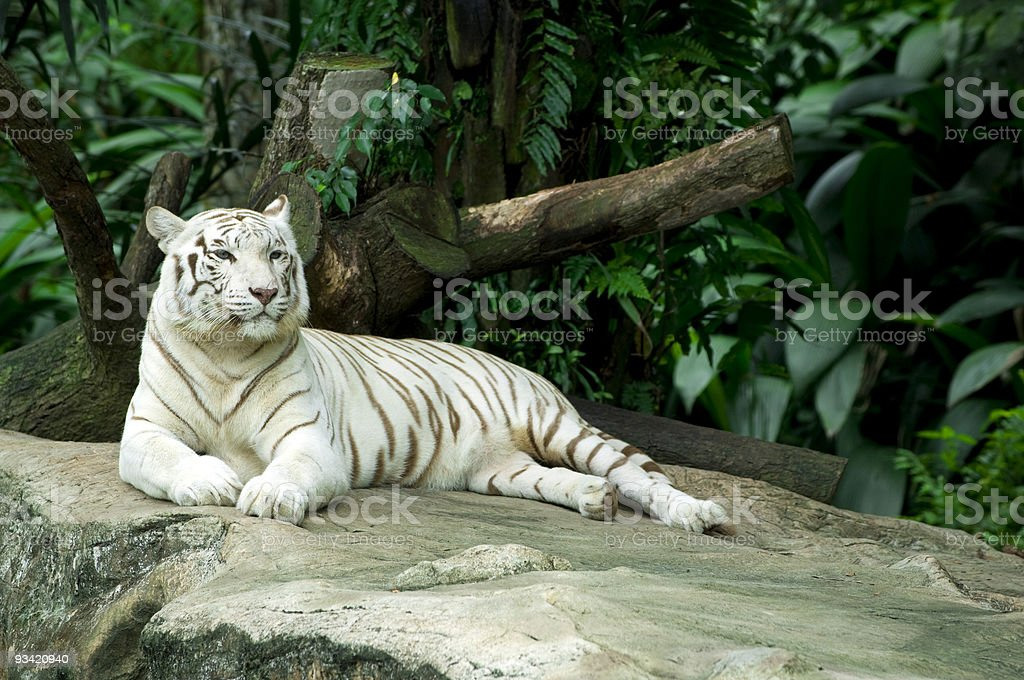 Beautiful white tiger lying on a flat rock in the jungle  royalty-free stock photo