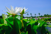Beautiful white water lily or lotus flower blooming