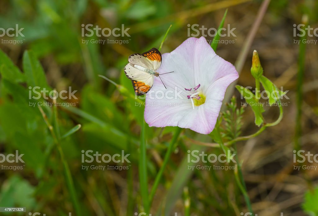 Beautiful wild bell-flower receiving visitor butterfly stock photo