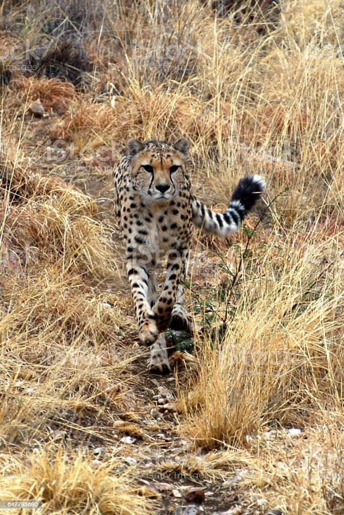 Beautiful wild Cheetah in the savannah of Namibia stock photo