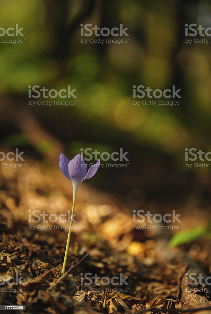 Beautiful wild crocus, Colchicum autumnale, flowers in a mountain forest royalty-free stock photo