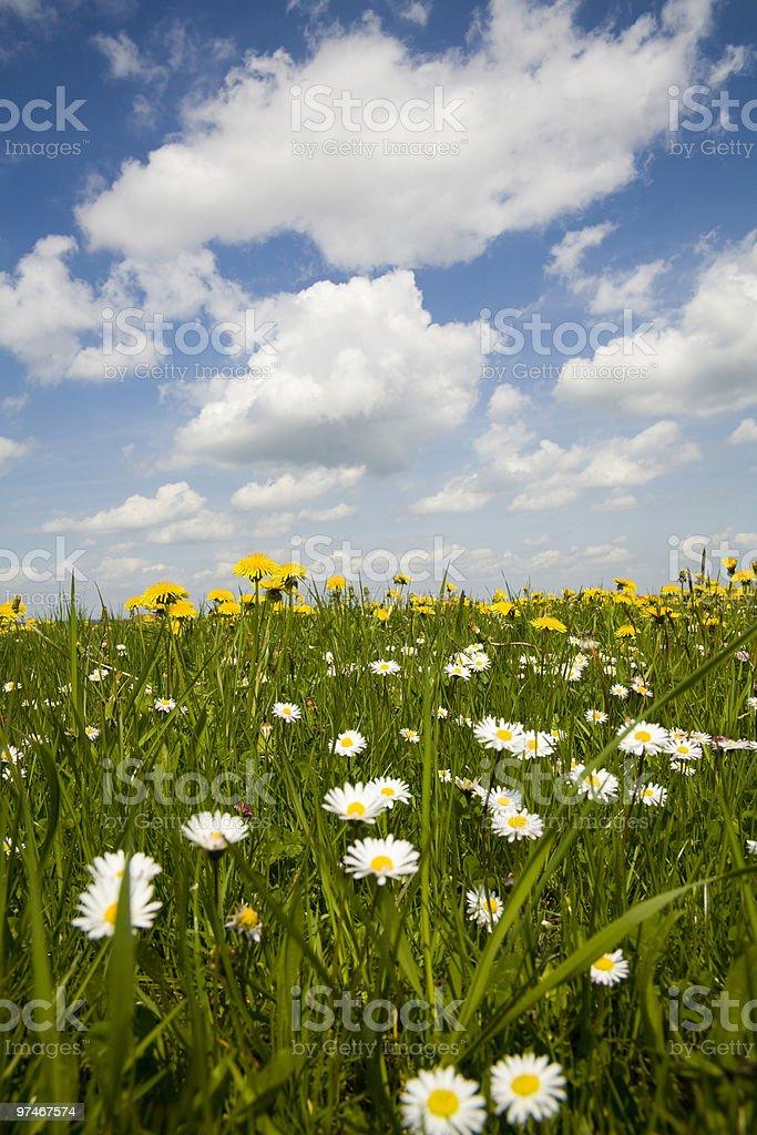 beautiful wild daisies stock photo