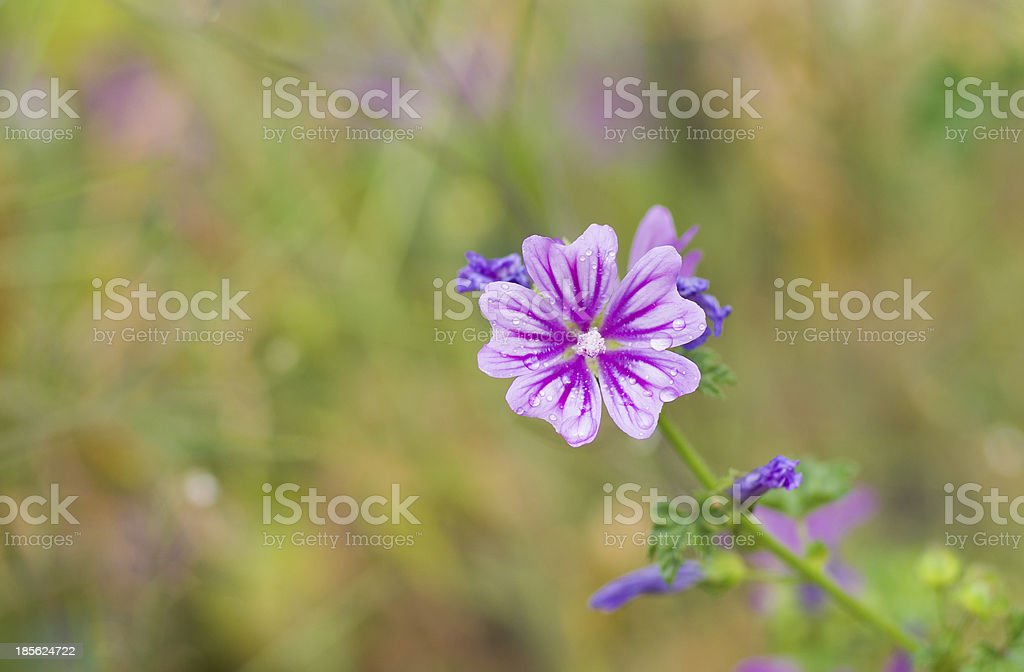 Beautiful wild flower royalty-free stock photo