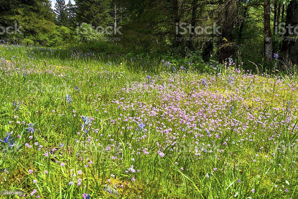 Belli fiori selvatici sulla radura della foresta di primavera foto stock royalty-free