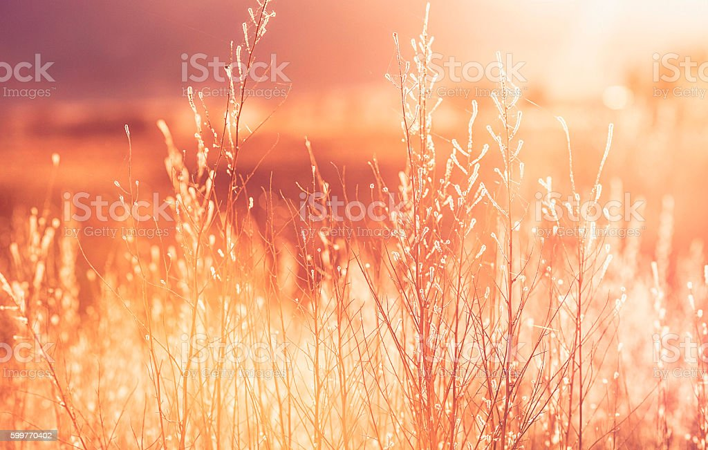 Beautiful wild grasses backlit in warm afternoon sunlight, Nature backgrounds stock photo