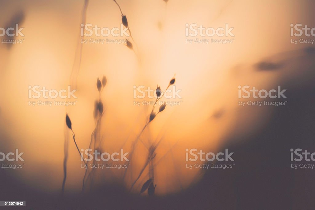 Beautiful wild grasses backlit in warm afternoon sunlight. Nature backgrounds stock photo