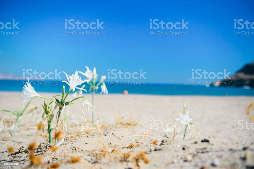 Beautiful wild lily on the shore of the Mediterranean sea stock photo