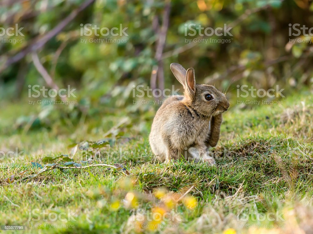 Beautiful Wild rabbit (Leporidae Leveret) close up grooming stock photo