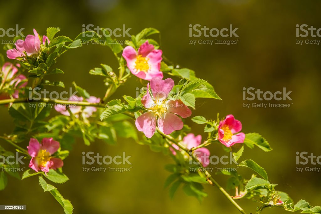 Beautiful wild rose bush blooming in a meadow in summer stock photo