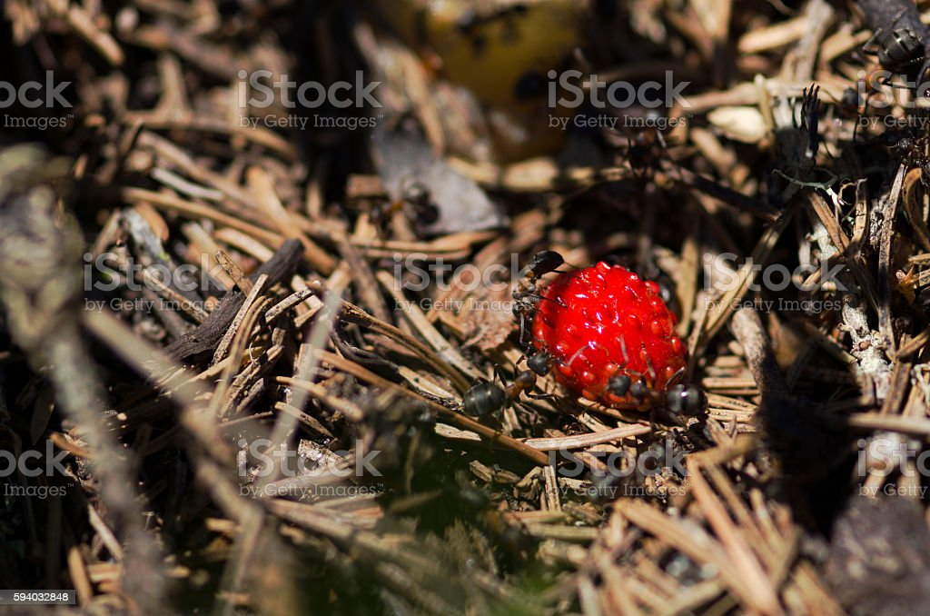 Beautiful wild strawberry and ants stock photo