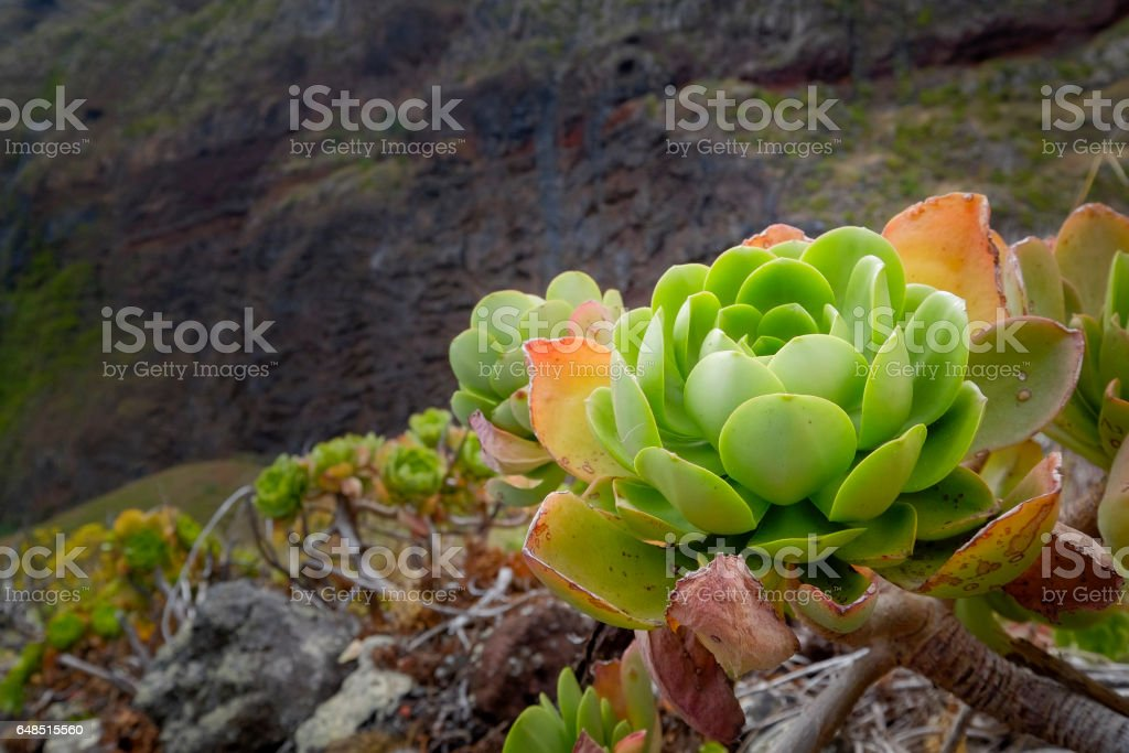 beautiful wild succulent stock photo