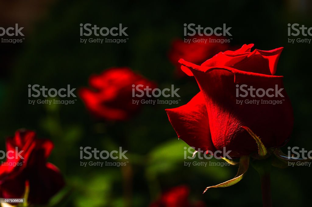 beautiful wild-growing red roses stock photo