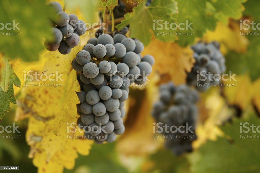 Beautiful Wine Grapes on the Vine royalty-free stock photo