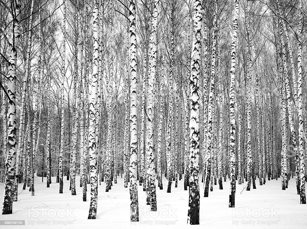 Beautiful winter birch grove black and white stock photo