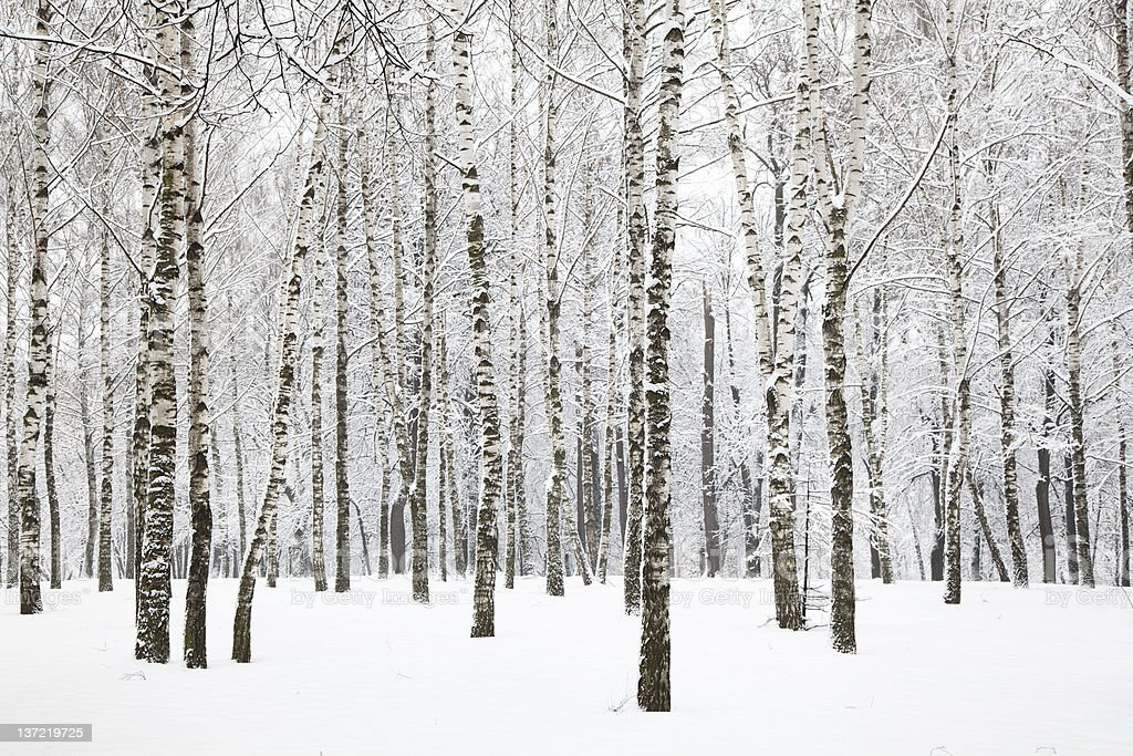 Beautiful winter birchwood stock photo