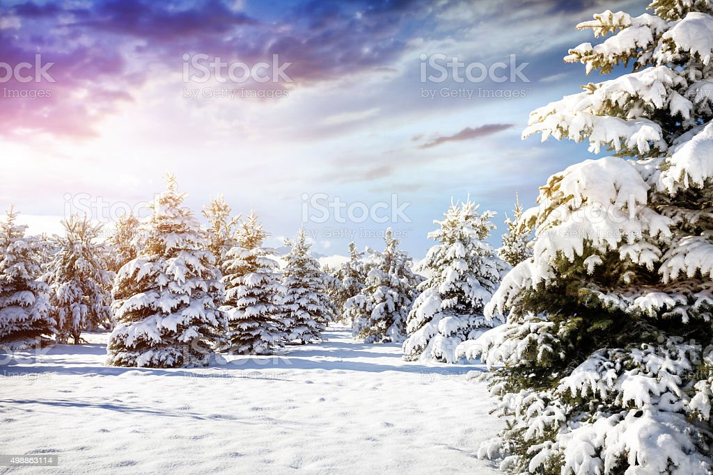 Beautiful Winter forest scenery stock photo