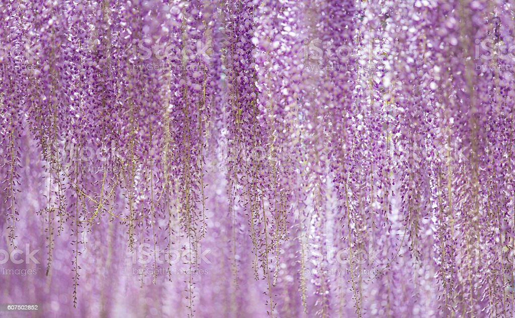 Beautiful wisteria bloomimg in end of spring season stock photo