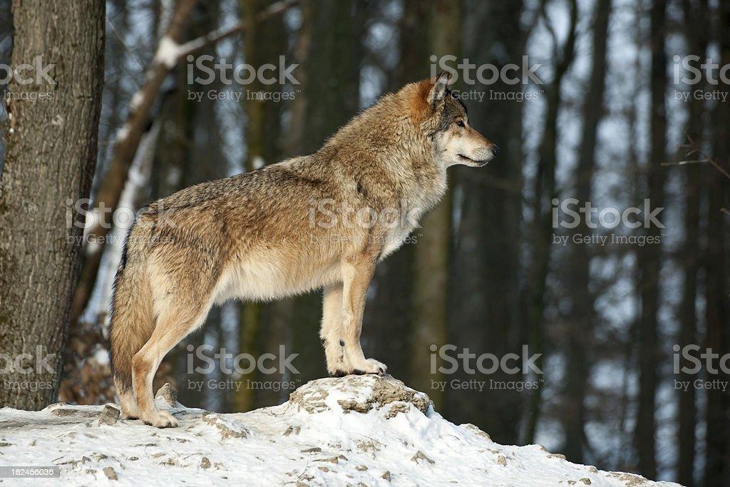 Beautiful Wolf In Winter stock photo