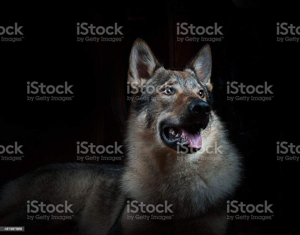 Beautiful wolfdog on a black stock photo