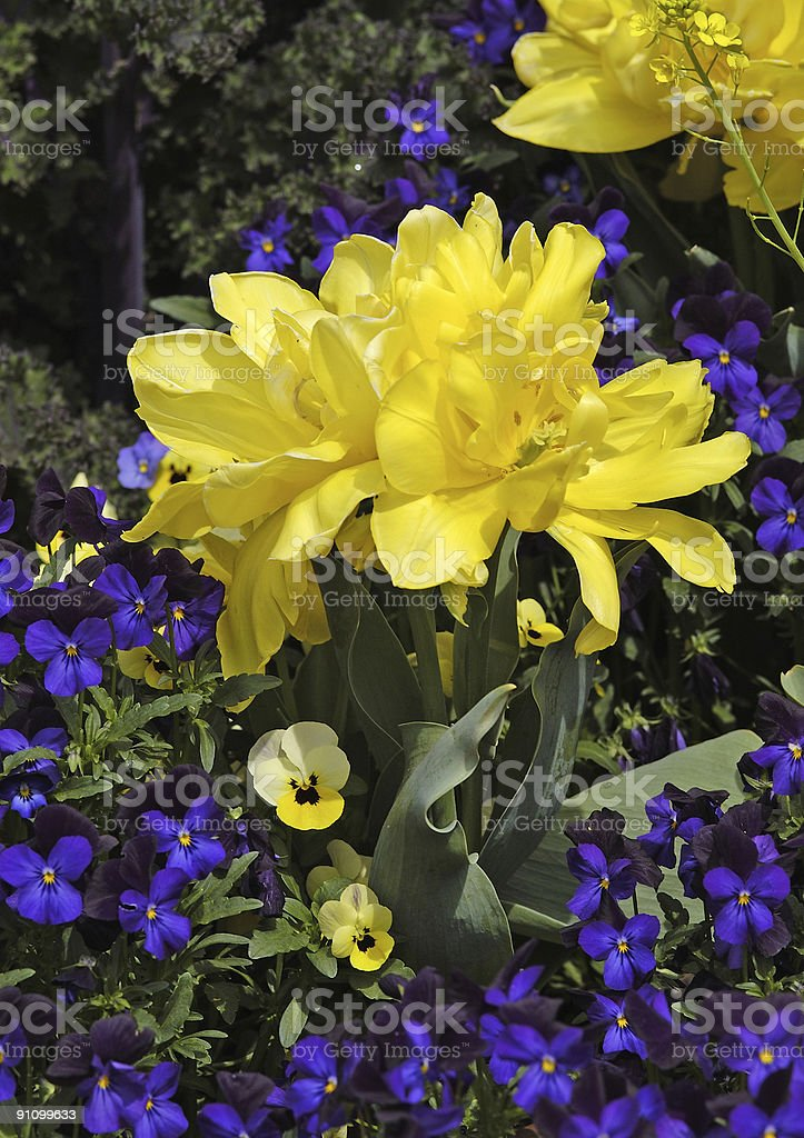 Beautiful Yellow and Purple Flowers royalty-free stock photo