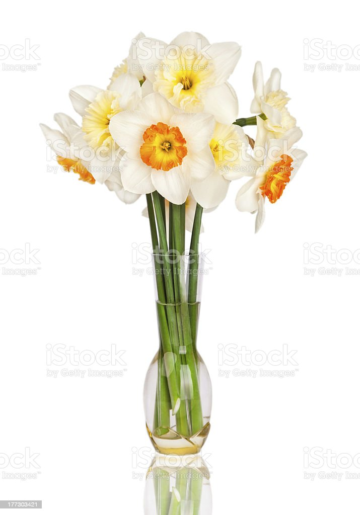 Beautiful yellow and white daffodils in transparent vase isolated. Narcissus royalty-free stock photo
