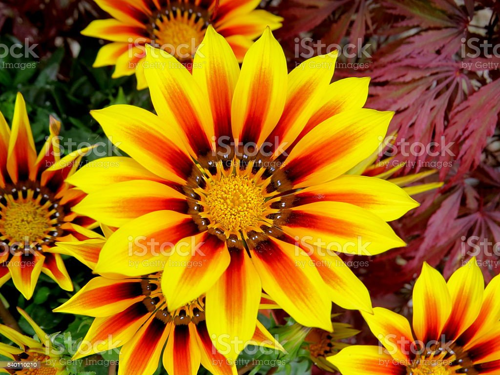 Beautiful yellow bright Gazania stock photo