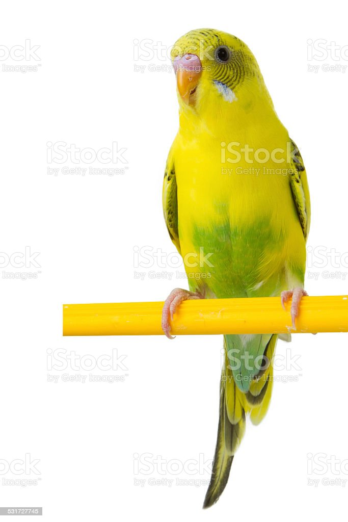 beautiful yellow budgie stock photo