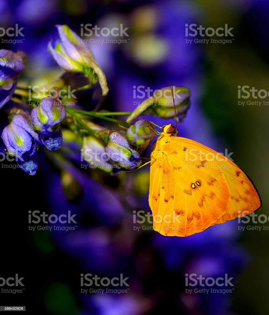 beautiful yellow butterfly sitting on the flower stock photo