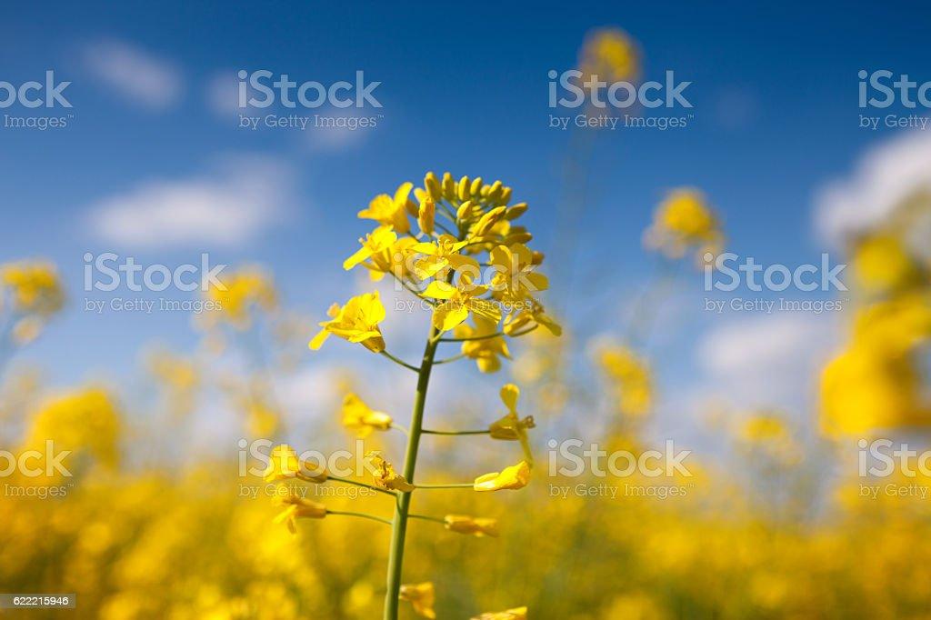 Beautiful yellow canola flower stock photo