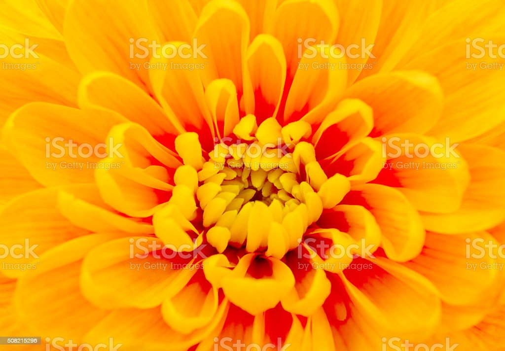 beautiful yellow chrysanthemum close-up stock photo