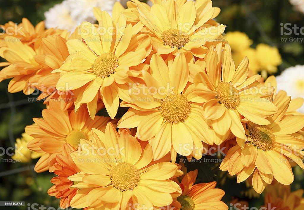 Beautiful yellow chrysanthemum flowers royalty-free stock photo