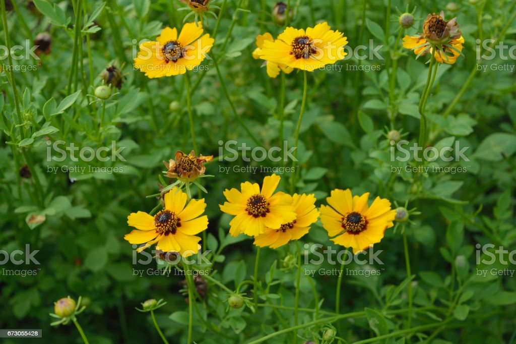 Beautiful Yellow Cosmos blooming in a sunny day stock photo