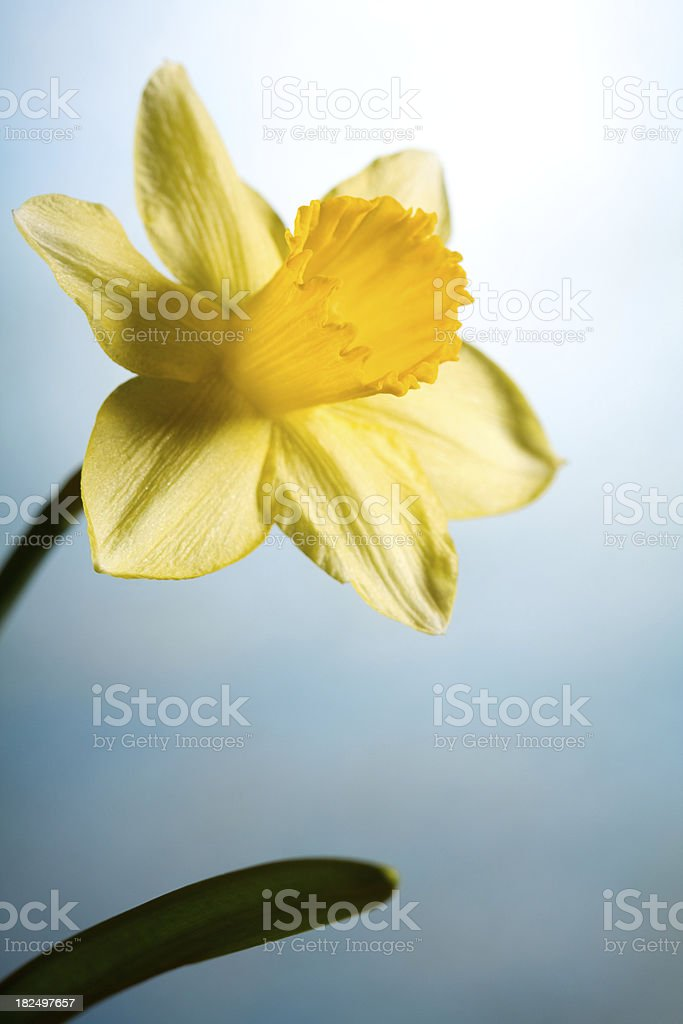 Beautiful yellow daffodil royalty-free stock photo