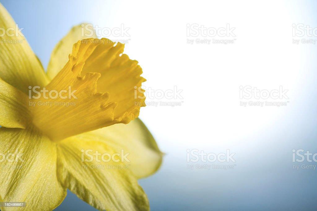 Beautiful yellow daffodil royalty-free stock photo