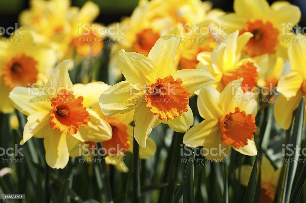 Beautiful yellow daffodils royalty-free stock photo