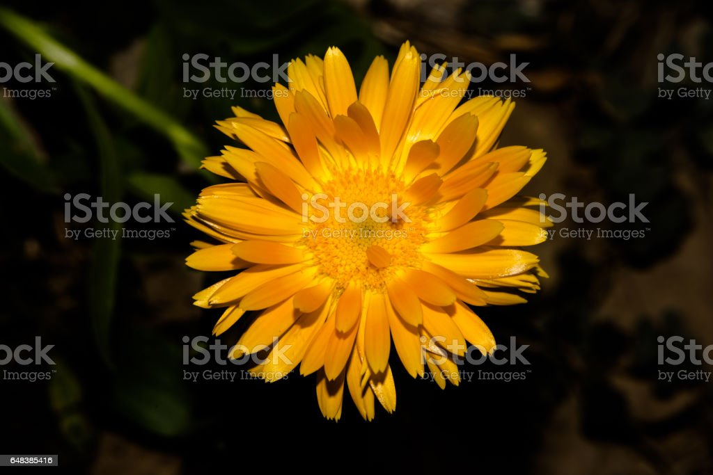Beautiful Yellow flower closeup. stock photo