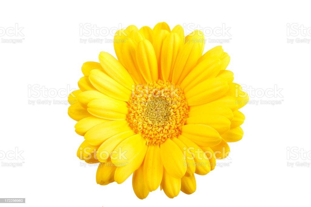 Beautiful yellow gerber royalty-free stock photo